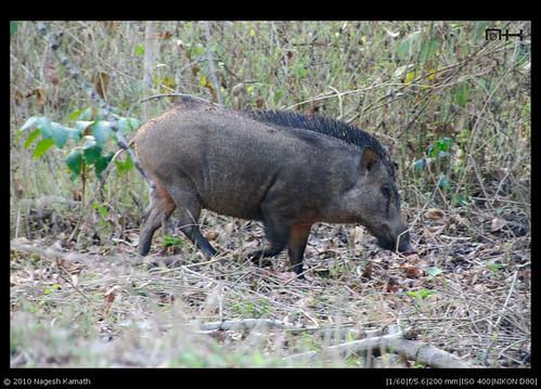 Wild Boar | Kabini