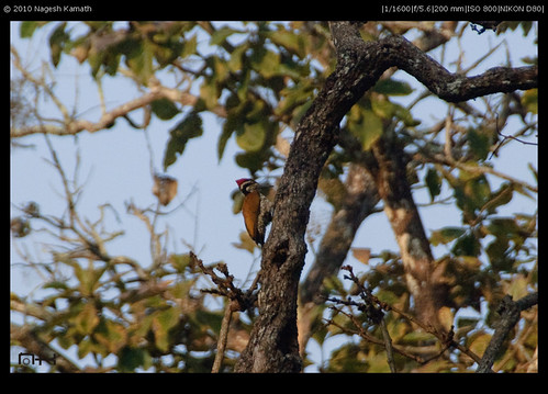 Black-rumped Flameback Woodpecker | Kabini