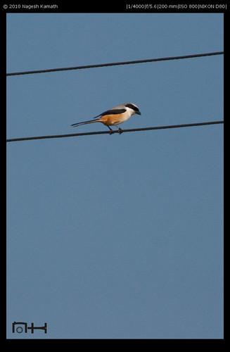 Rufous Shrike | Kabini