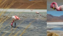 Bolivia flamingoes