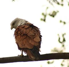 Brahminy kite.