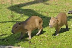 Capybara im Gaia Park Kerkrade im Juli 2010
