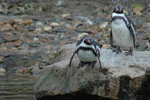 Humboldt-Pinguine im Dierenpark Emmen im März 2008