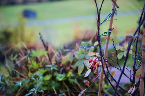 rosa rubiginosa, l'autunno che rivedo in marzo, aspettando il disgelo