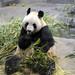 Giand Panda Ueno Zoo 恩賜上野動物園, Tokyo Japan 東京 日本