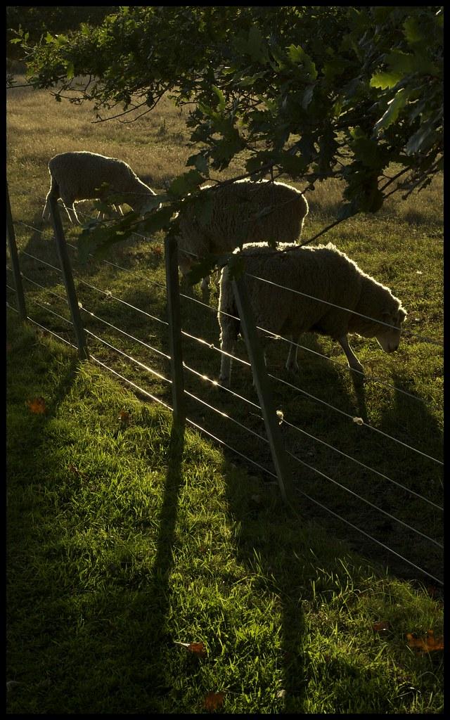 The Sheeps at Lincoln