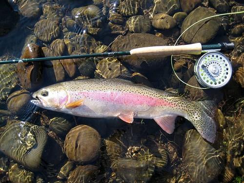Lower McKenzie River Wild Rainbow Trout