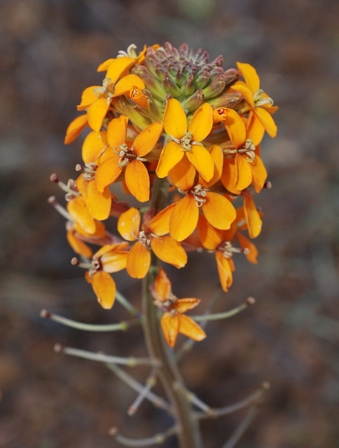 Erysimum capitatum ssp. capitatum