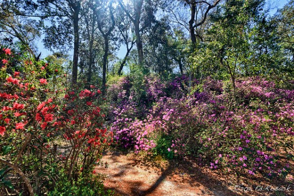Several varieties of azaleas in bloom