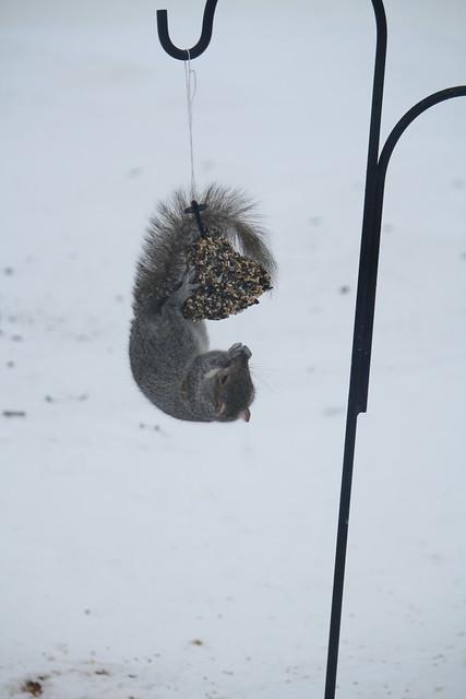 gray squirrel antics 1