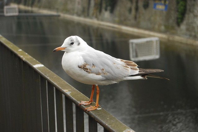 Another Gull @Schanzengraben, Zurich