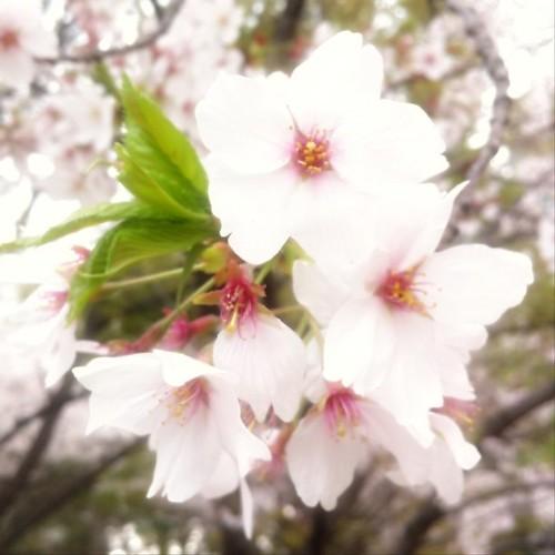さぁ、お昼ですよ! お花見でもいかが? #sakura #afternoon