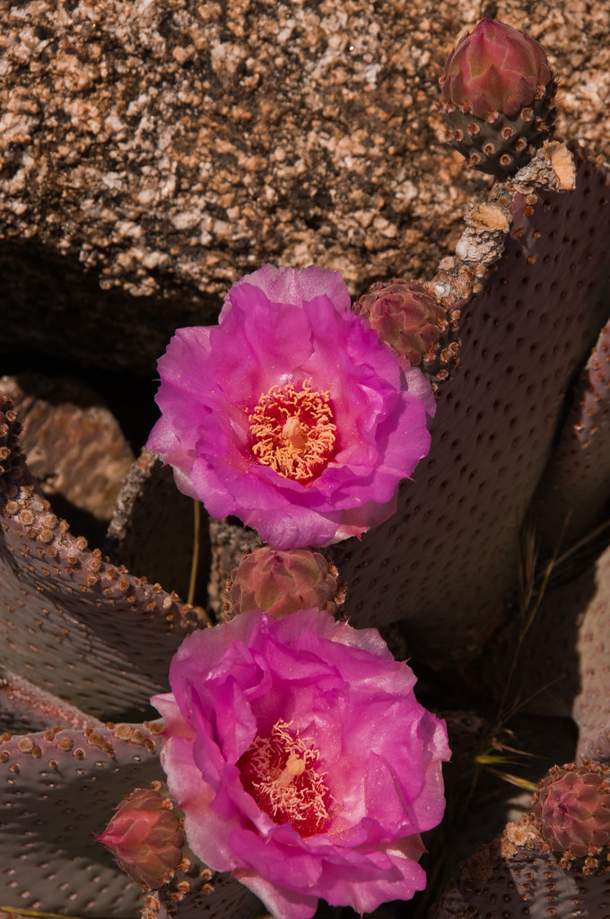 Cactus flowers in the San Jacinto mountains