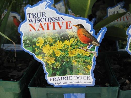 True Wisconsin Native Prairie Dock