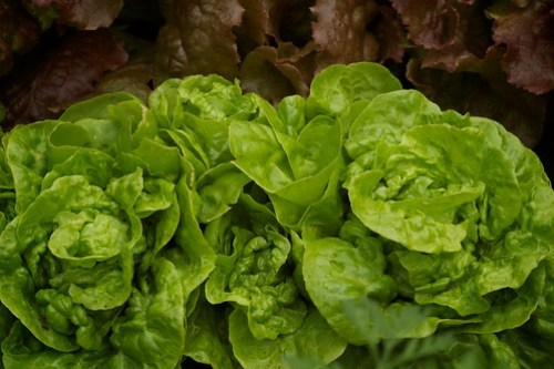 Red sails and butter head lettuce