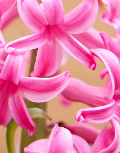 Hyacinth-9