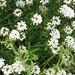 White flowers?