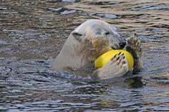 Eisbärin Victoria im Zoo am Meer in Bremerhaven