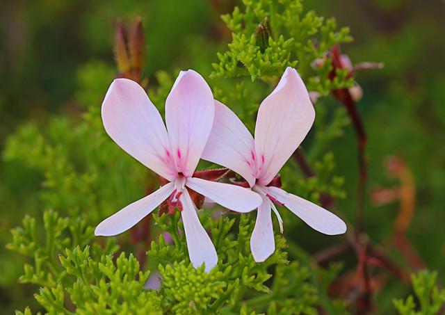 adorable pelargonium