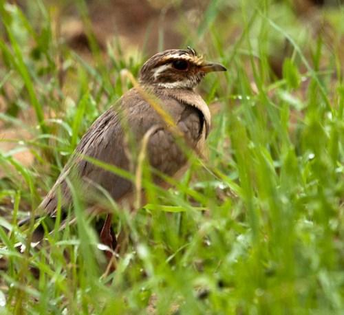 Bronsvleugelrenvogel