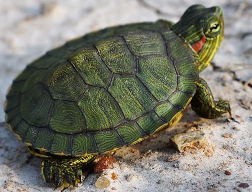 Ornate Turtle Box Print