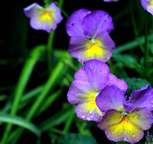 Starry Night Viola