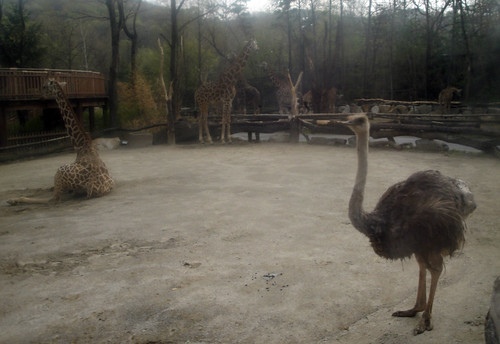 Ostriches! and more giraffes!