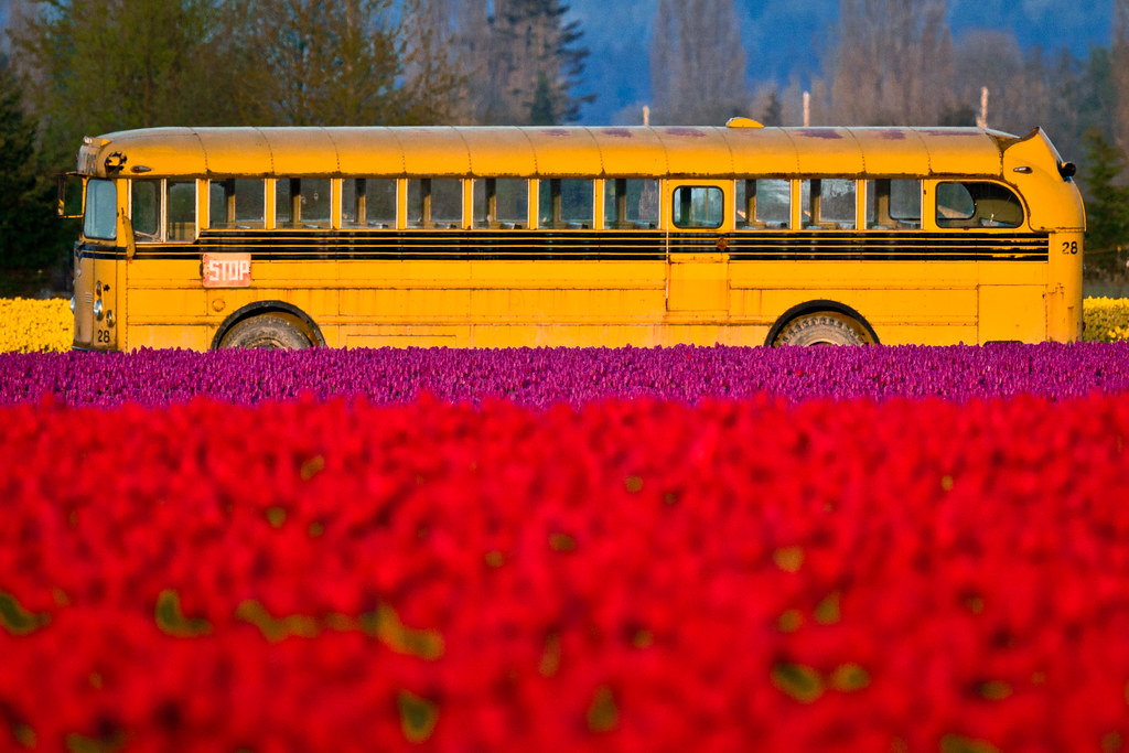 Tulip school bus