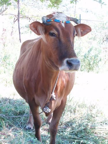 201104240054_cow