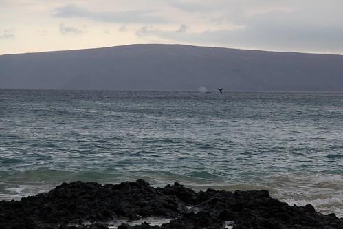 Maui Whale Fight