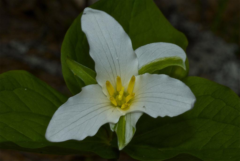 Pacific Trillium, Western White Trillium