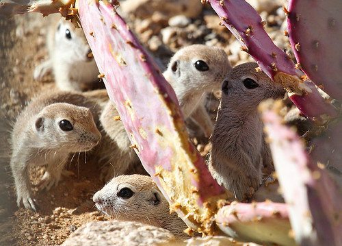 Five Round-tailed ground squirrels by SearchNetMedia