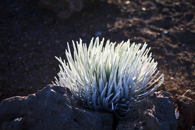 Silversword plant- Maui Haleakala Volcano Park