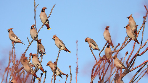 Waxwings by markkilner, on Flickr