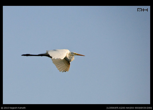 Egret in flight | Kabini