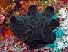 Coriocella sp. by divemecressi