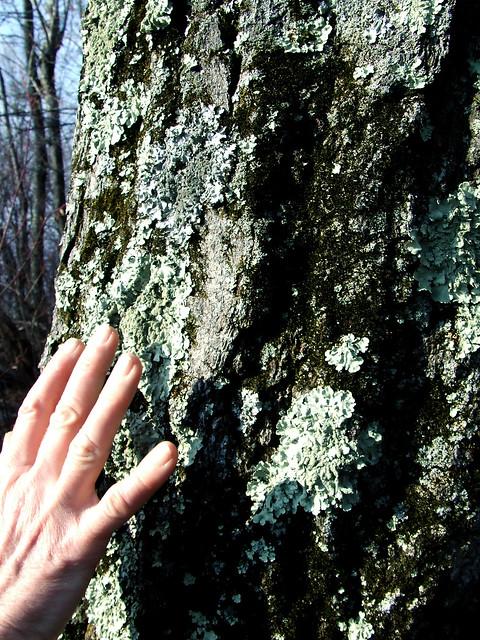 lichenous tree