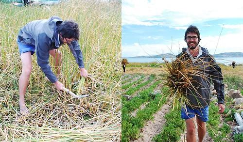 Harvesting tortora reeds