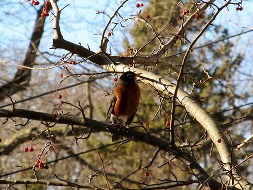 Lone robin