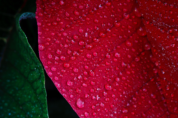 Water droplets on a poinsettia leaf.