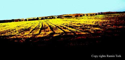 mustardfield by doodle_juice