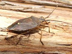 Pentatomidae>Oncocoris apicalis? Brown stinkbu...