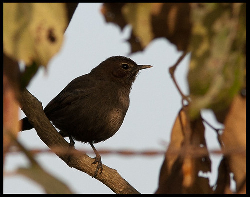 Indian Robin - Female by Sushil