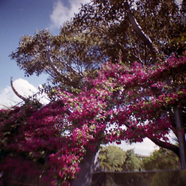 Bougainvilleas
