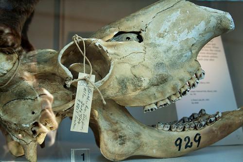 Beaty Museum - Reindeer