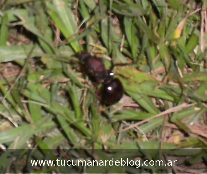 invasion de hormigas en tucuman