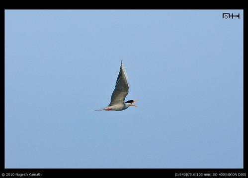 Flying River Tern | Kabini