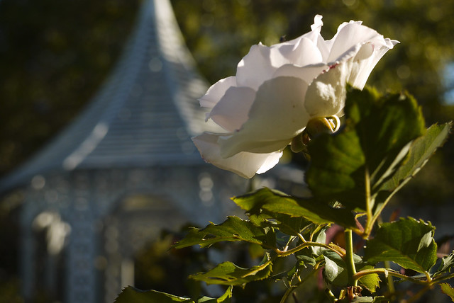 """Roses of """"Fay Garden"""", Leavenworth at Chestnut, Russian Hill, San Francisco"""