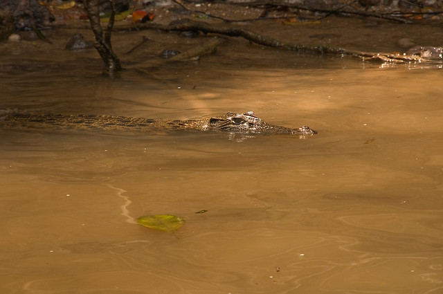 A crocodile in the Daintree River