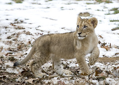 One of the National Zoo's lion cubs